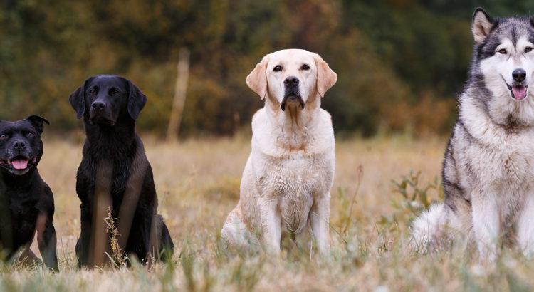 ab5bff08ecb Tõuomased erinevused koerte käitumises