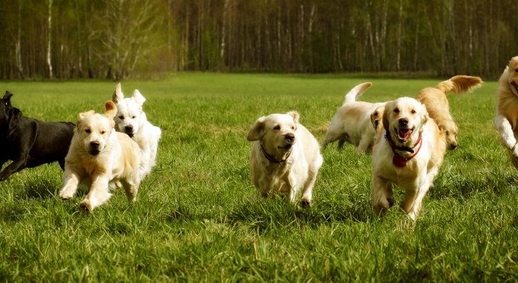 a021852a862 Uuring: Varjupaigas elavate täiskasvanud koerte kiindumuskäitumine ja uute  sidemete kujunemine